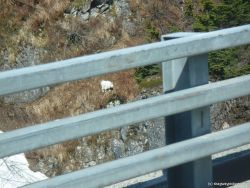 White mountain goat in Skagway.jpg